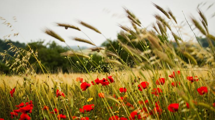 wheat field poppy flowers 1920 x 1080