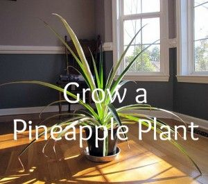 methods for growing pineapple plant from store-bought pineapple