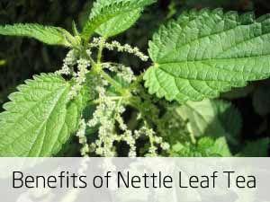 Benefits of Nettle Leaf Tea. Also: http://mhof.net/articles/versatile-stinging-nettle