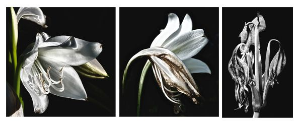 Kiriacon Dolores, Blooming Lily, Wilting Lily, Wilted Lily, photographs