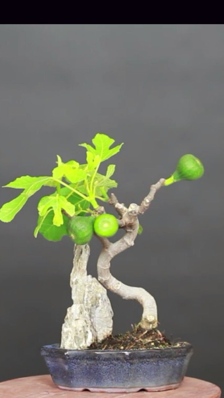 1000 Images About Bonsai Mame On Pinterest