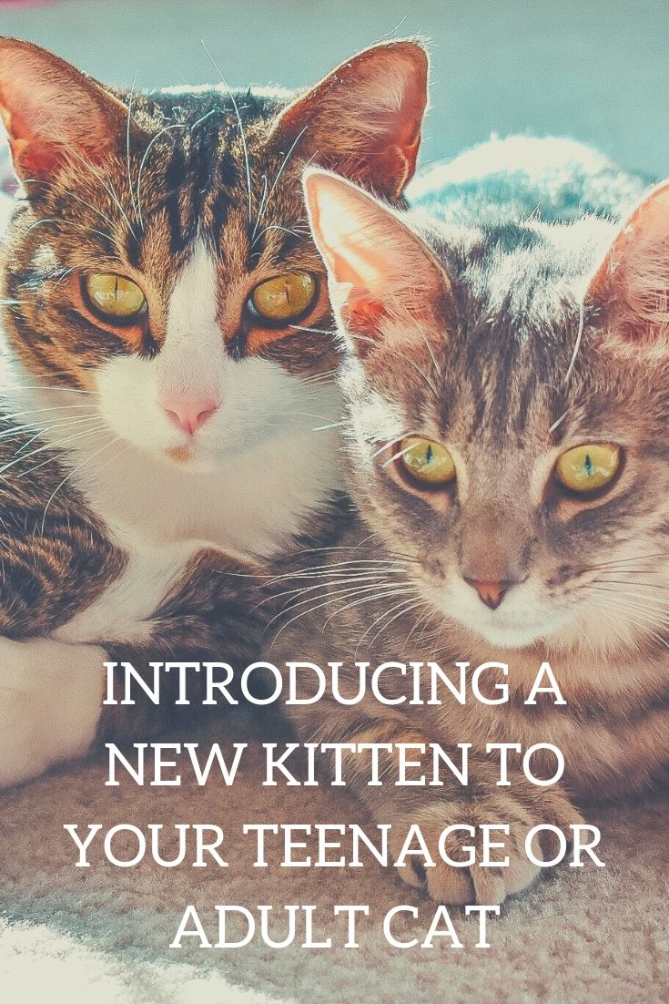 Cat Mom Life Introducing A New Kitten To A Teenage Or Adult Cat It Seems Like It Should Be Easy Enough To Introduce A New Cat Mom Kittens Cats And Kittens