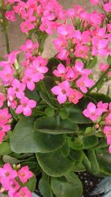 Kalanchoe -- Growing Kalanchoe Plants. Prefer bright, sunny locations. Water moderately - let soil surface dry out before re-watering. Ordinary potting soil is good, but fertilize regularly (bi-weekly, or use slow-release fertilizer).