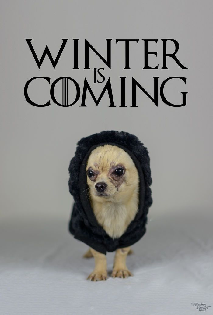 Image result for winter is coming chihuahua