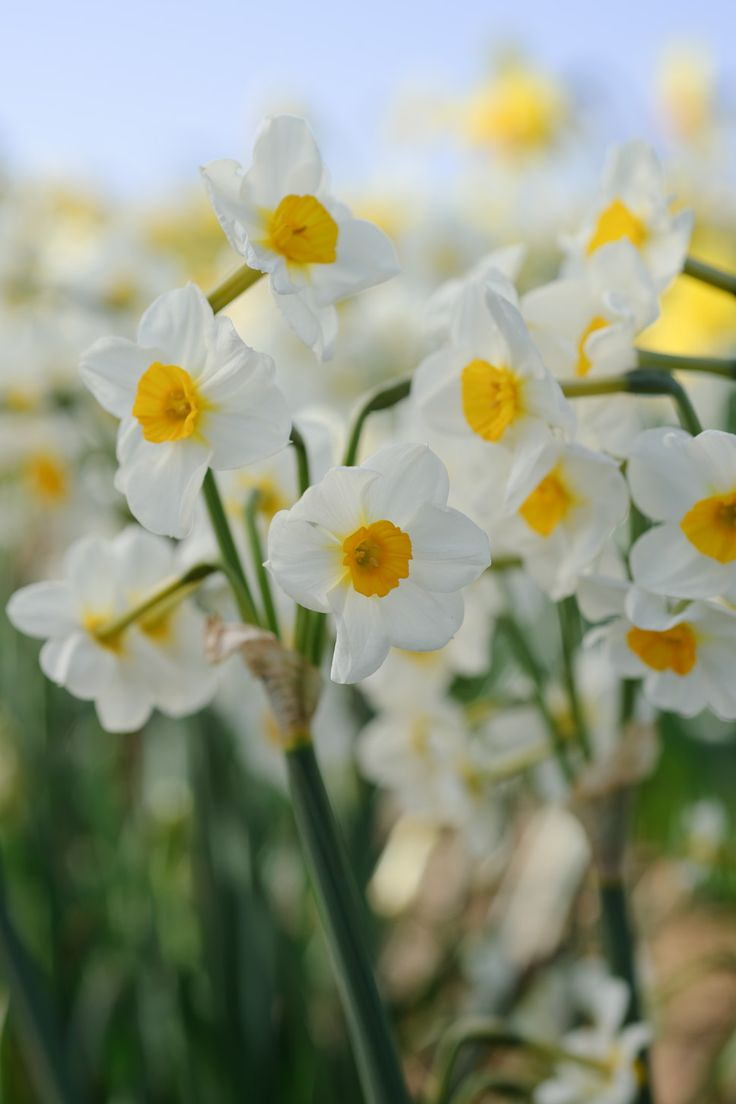 38 best Daffodils images on Pinterest | Daffodils, Tulips and ...
