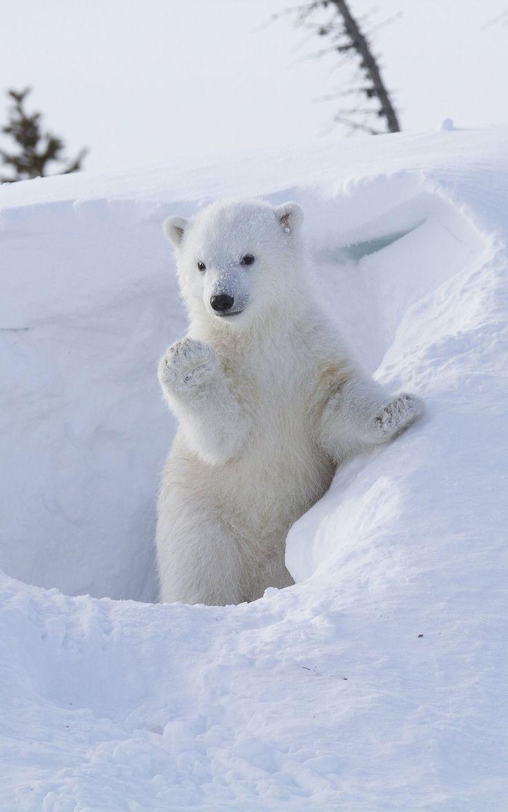 """our-amazing-world: """" Hi-five Polar Bear c Amazing World beautiful amazing """""""