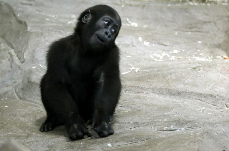 The baby gorilla who is listening to all your stories intently, girl. | The 40 Most Adorable Baby Animal Photographs Of 2013