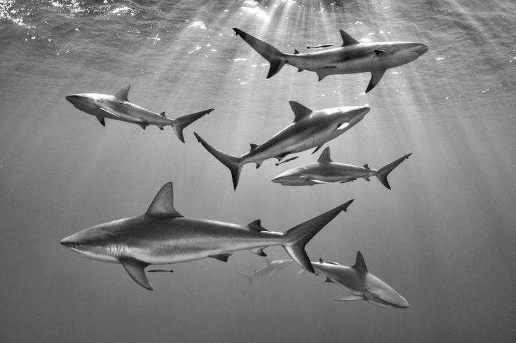 """Sieben auf einen Streich: Mathieu Foulqui wurde schon mehrfach gefragt, ob es sich bei diesem Bild um eine Fotomontage handelt, weil so viele Riffhaie zusammen im Bild sind. Doch hier wurde nichts manipuliert - der Schnappschuss gelang an dem kubanischen Tauchspot """"Gardens of the Queen""""."""