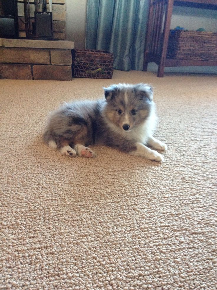 The shetland sheepdog can also be called the sheltie. This is our blue merle sheltie puppy. His name is Rudy