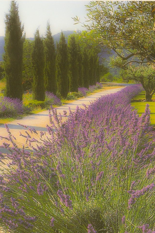 Lavender and Cypresses