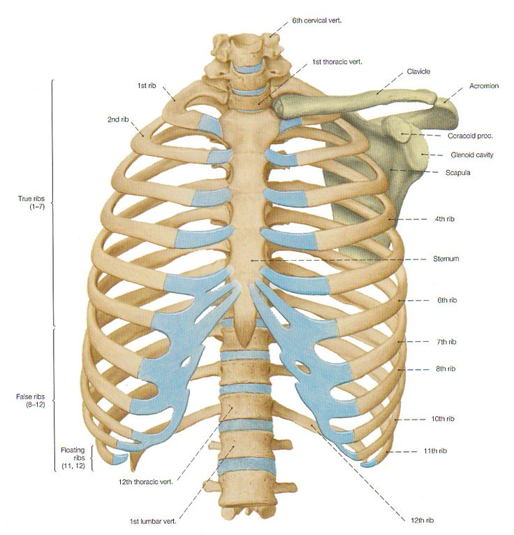 Rib Cage Bone Diagram Windlass Wiring Ventral View Of The Thorax Skeleton. — Anatomy References | Reference Pinterest
