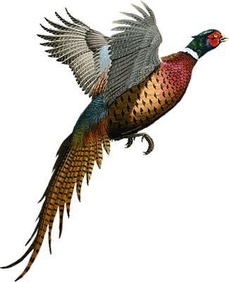 pheasant pics - Google Search
