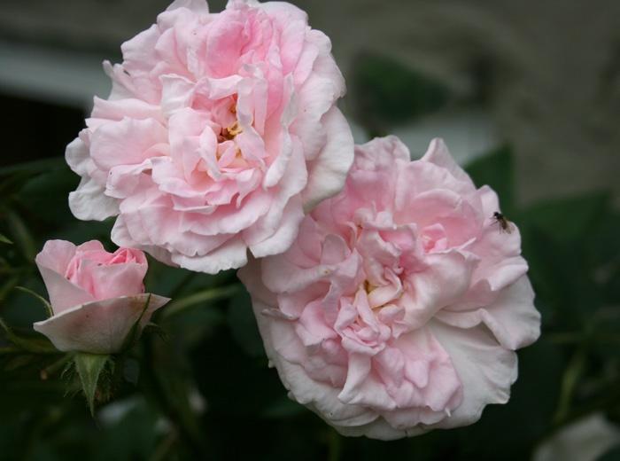 Maiden's Blush roses in my garden
