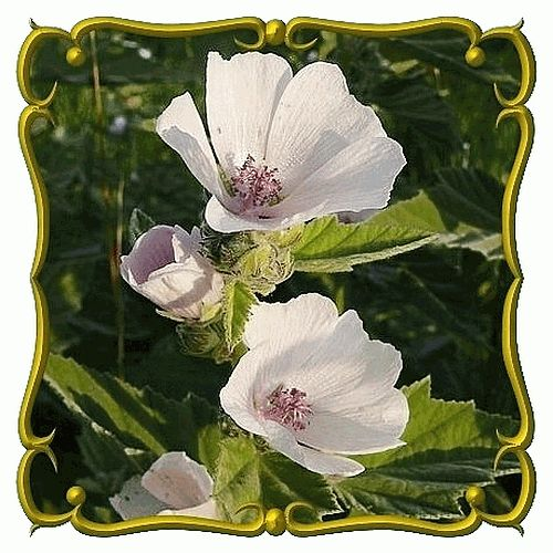 """Althaea officinalis ~ Marshmallow plant. The root was used as a gelling agent for marshmallow confections. A vegetarian could safely use this plant instead of today's marshmallows with gelatin among other chemicals. Height 24-48"""" eb #plants #seeds #container garden"""