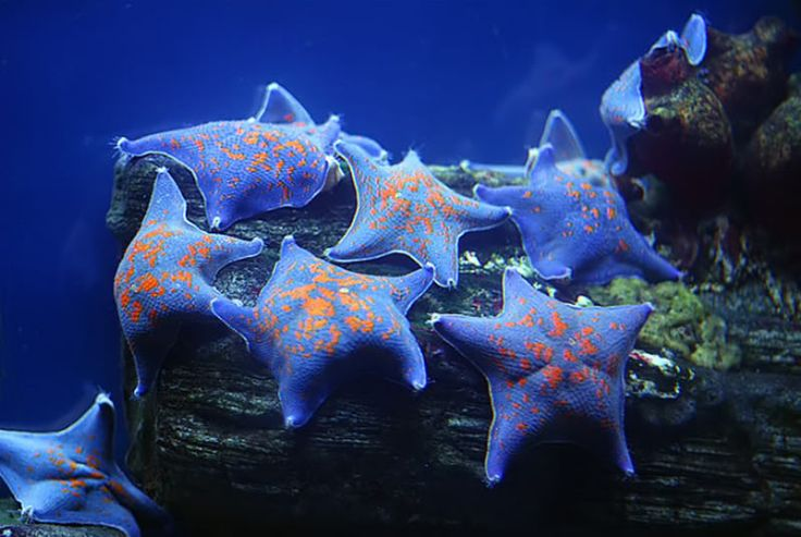 sea stars photo: Blue Sea Stars SeaStars.jpg. These just don't look real.