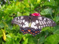 Farfalla sul germoglio di fiore rosa 2