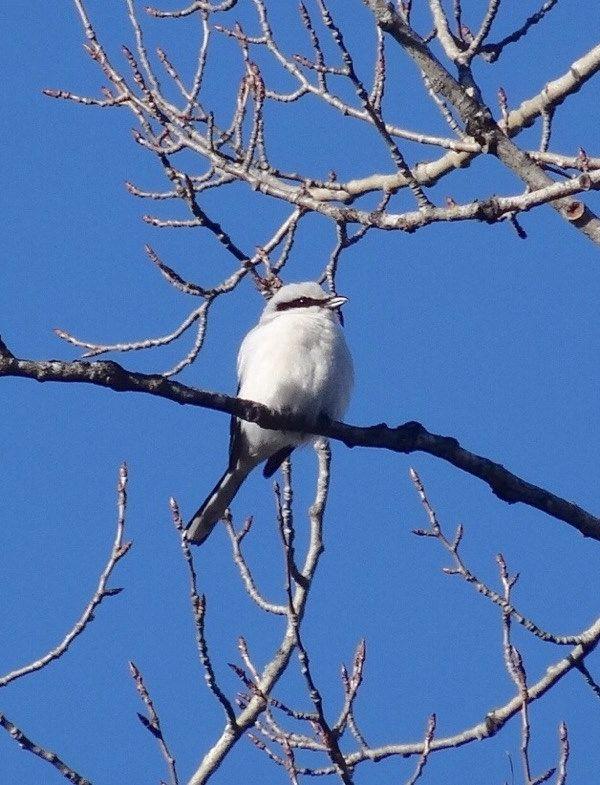 Rosvolintu, isolepinkäinen / The thief bird, great grey shrike, lanius excubitor