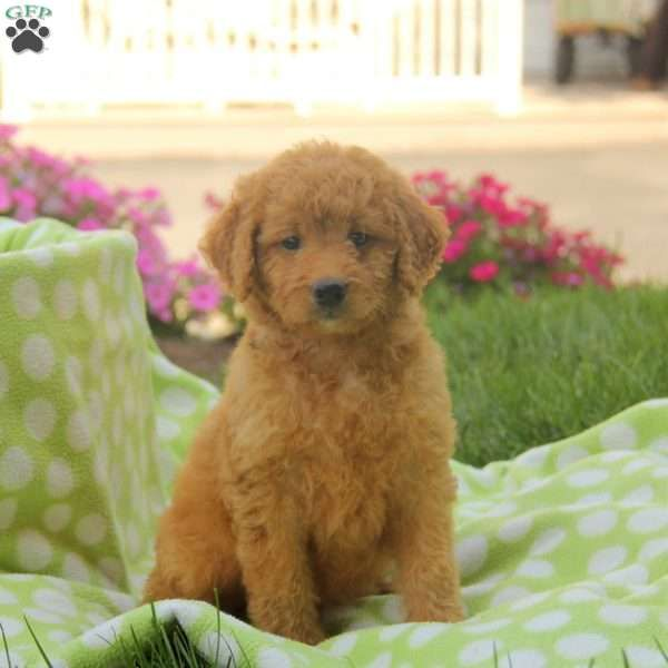 Sandy Mini Golden Mountain Doodle Puppy For Sale In
