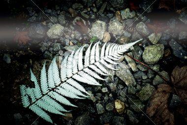 New Zealand Silver Fern (Punga) Royalty Free Stock Photo