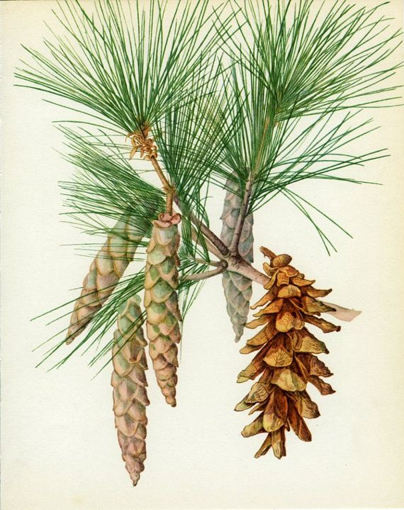 Vintage Tree Print, Weymouth or Eastern White Pine, Botanical  Book Plate 44, Ornamental, Nature, Landscape, Framing, 1969, Choc via Etsy