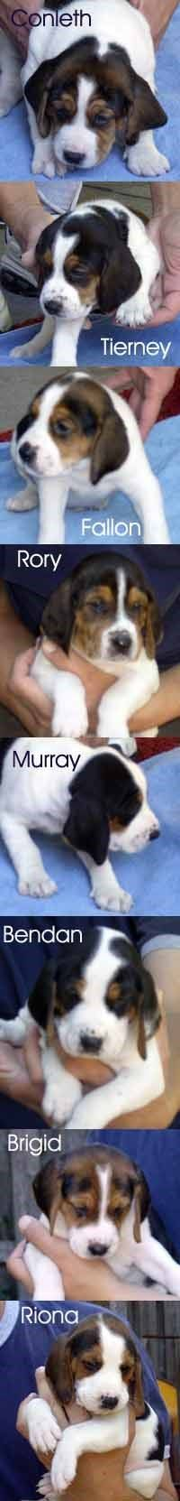 American Foxhound dog for Adoption in Chantilly, VA. ADN-542443 on PuppyFinder.com Gender: Male. Age: Adult