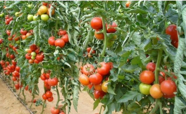 Roşii sănătoase fără pesticide. O sârmă sau o monedă de cupru pot face minuni - Sanatos Zi de Zi