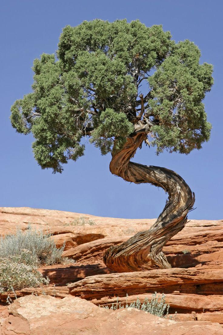 Juniper Tree (Juniperus osteosperma) in Canyonlands National Park in Utah, USA.