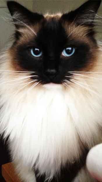 Ragdoll Cat Mobile Wallpaper Hd Free Download Beautiful Cats Cat Breeds Ragdoll Cute Cats And Kittens