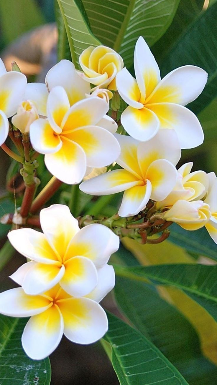 The Plumeria Flower Floral Springtime 1000 In 2020 Most Beautiful Flowers Orchid Flower Flower Aesthetic