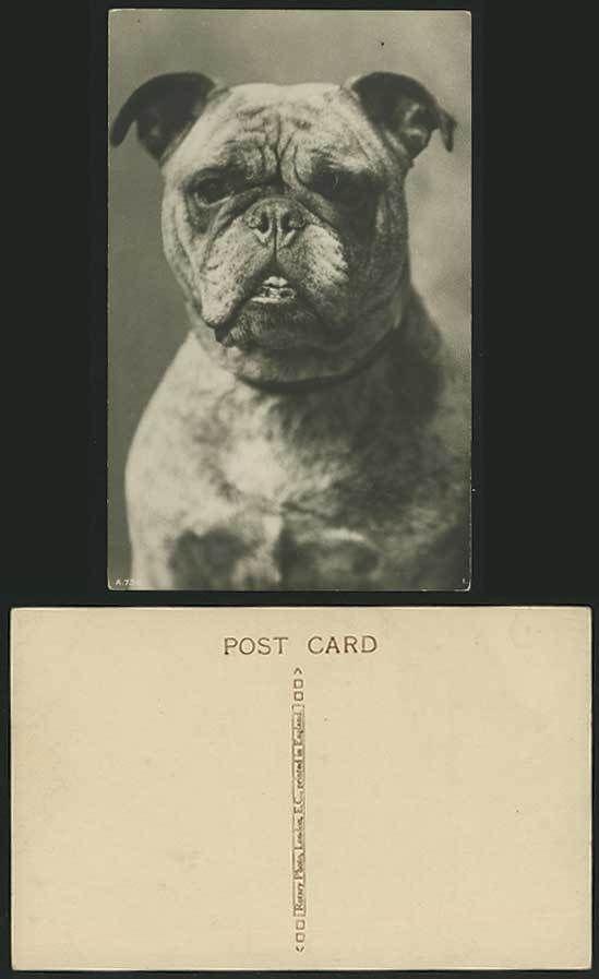 BULL DOG BULLDOG - Pets Animals Old Real Photo Postcard