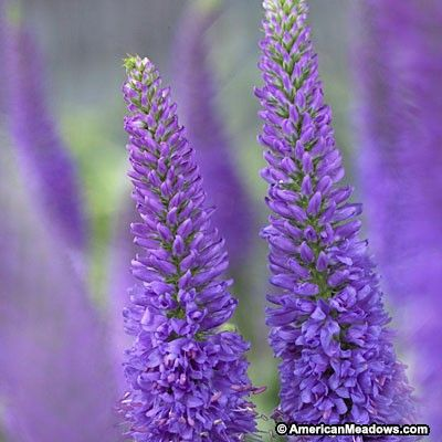 The Atomic Violet Ray produces vigorous, bright purple blooms in summer to fall. Easy to grow, Veronica is a great addition to any garden. PPAF (Veronica)
