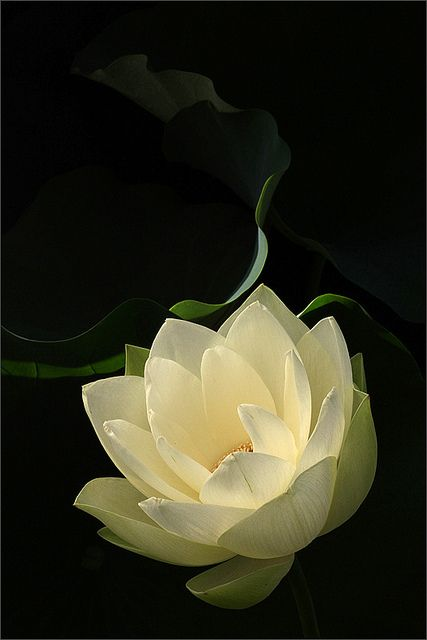 Lotus Flower - IMG_0273-800 by Bahman Farzad, via Flickr