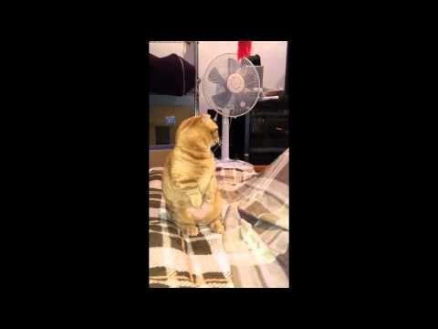 猫 ナズナちゃん ニャジラの雄叫び
