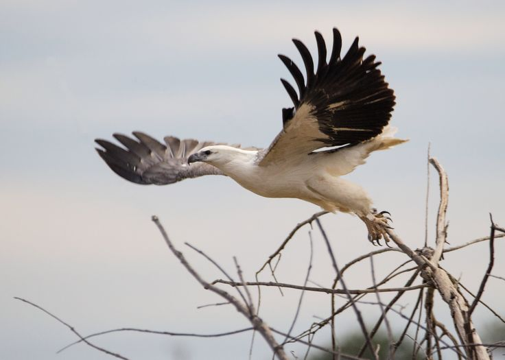 White bellied sea eagle takes flight