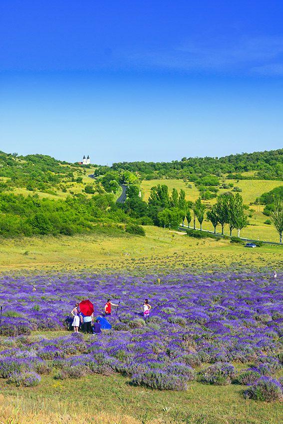 De bekende lavendel velden in Tifany aan het Balatonmeer in Hongarije.TIHANY-Balaton