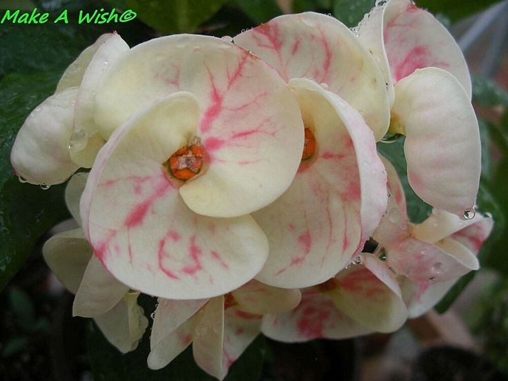 Crown of Thorns Euphorbia milii succulent CUTTING Shade tolerant Creamy Ivory White