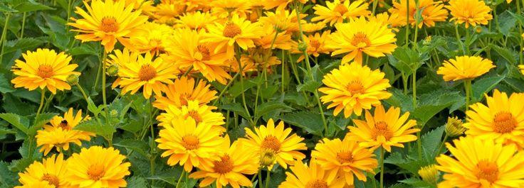 Fiori gialli da piantare adesso per riscaldare l'autunno  In giardino tutto sembra avviarsi al declino. Per rallegrare un'aiuola o una bordura, proponiamo un girasole, il topinambur e l'heliopsis: tre piante perenni che sbocciano adesso nei colori del sole.  http://www.cosedicasa.com/casa-in-fiore/