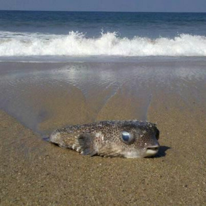 50 best images about pufferfish on pinterest pets happy for Puffer fish sand art