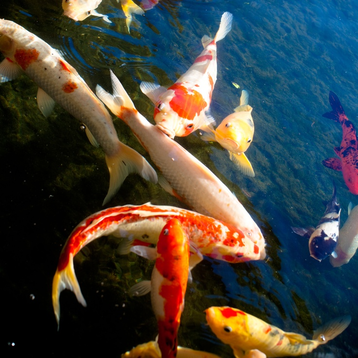 1000 images about koi pond backyard on pinterest for Japanese koi for sale near me