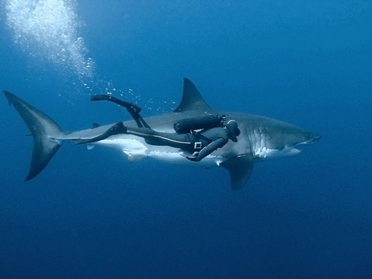 Diving buddies (With a Great White! Now THAT takes cajoles!)
