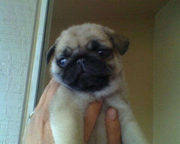 Masse's Pudgy Pugs - AKC Registered Pugs Puppies Breeding Available Fawn Pug For Sale