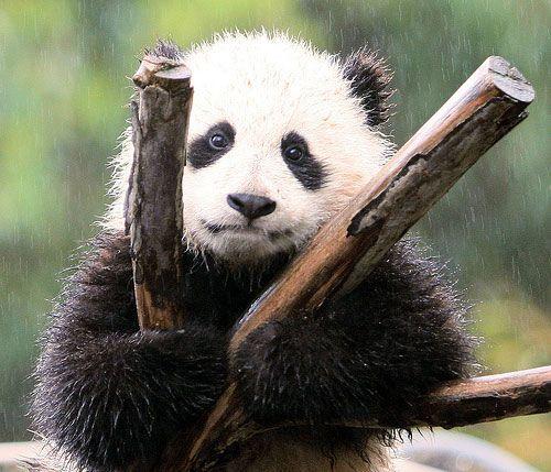 Zoomer Loves The Rain: Wet Pandas, Great Britain, Coon Bears, Kind Regard, Cute Pandas, Pandas Bears, Giant Pandas, Hair Looks, Entir Population