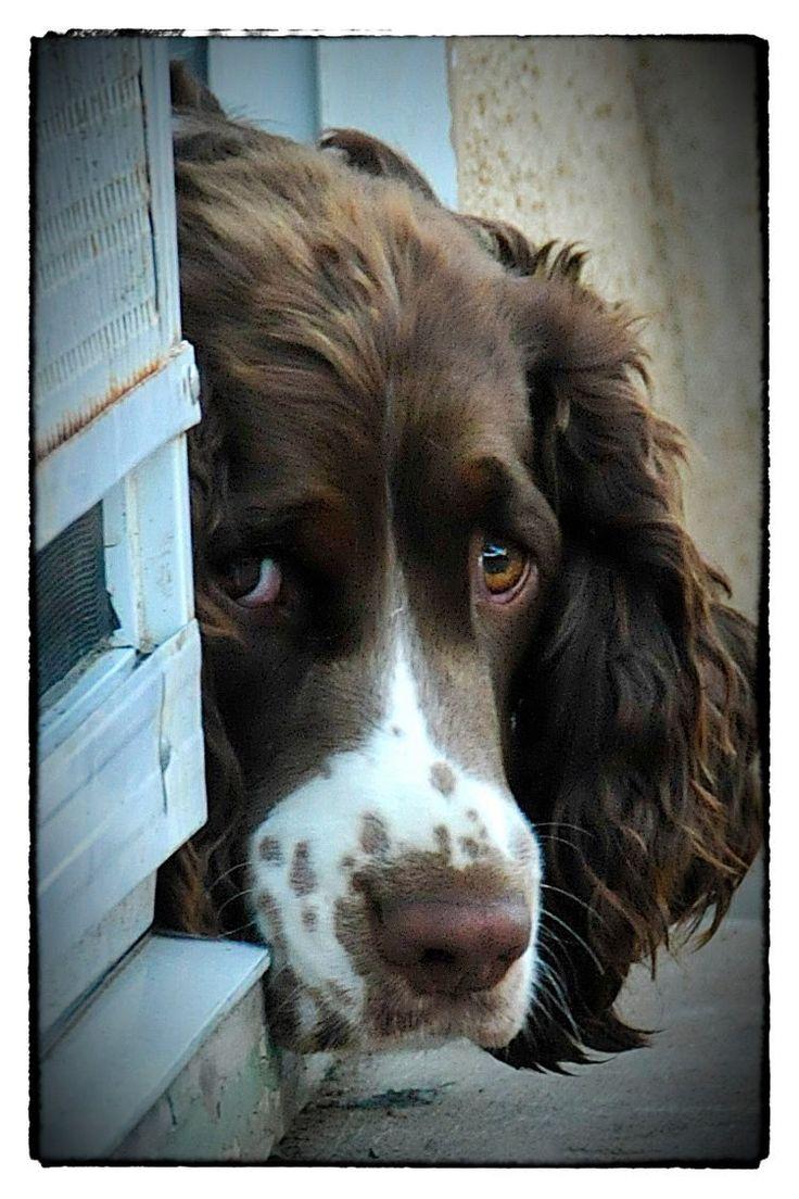 Cute pooch. Springer Spaniel