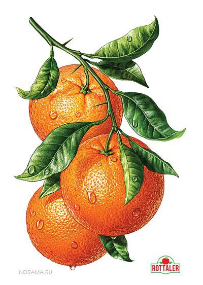 Иллюстрации для линейки соков ROTTALER (ООО «Невские Молокопродукты»). http://www.nevcheeses.com