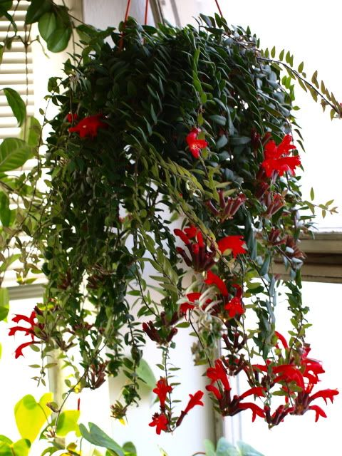 Aeschynanthus Lipstick Plant For Homiest Homes