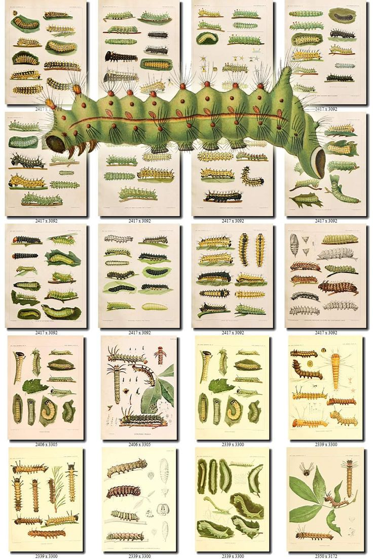 CATERPILLARS-1 Collection of 248 vintage images butterfly caterpillar green pictures animals High resolution digital download printable by ArtVintages on Etsy