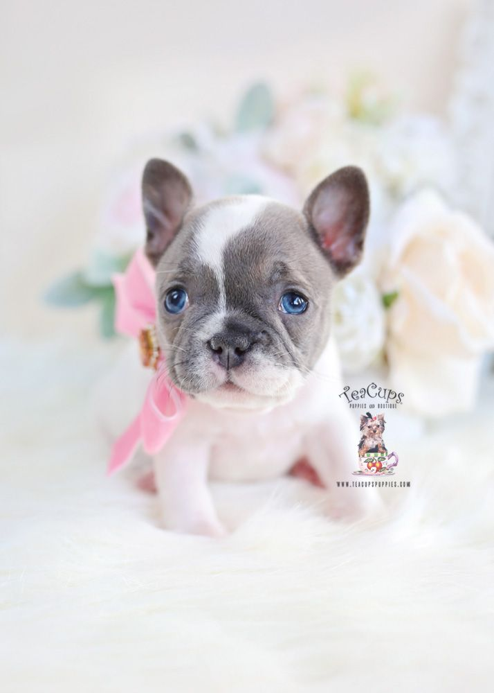 Blue Pied French Bulldog Puppy Teacup Puppies French Bulldog
