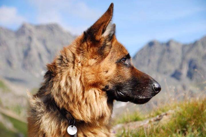 немецкая овчарка щенки немецкой овчарки питомник собак