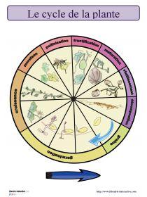 Une horloge à afficher ou à fabriquer pour maîtriser les différentes étapes du cycle de la plante.