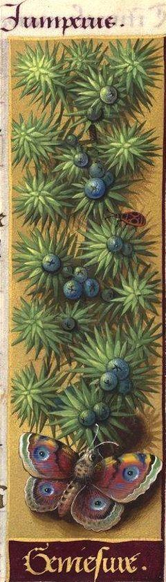 Geniesvre - Juniperus (Juniperus communis L. =genévrier) -- Grandes Heures d'Anne de Bretagne, BNF, Ms Latin 9474, 1503-1508, f°131r